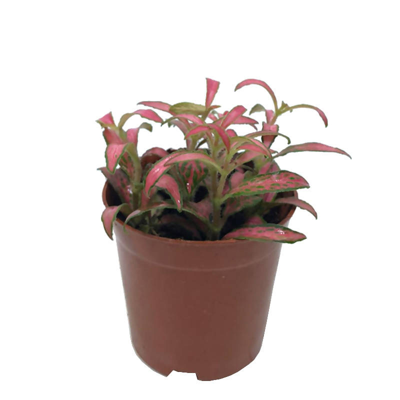 "Fittonia ""Pink Red with Dark Green Edge"" (0.13m)"