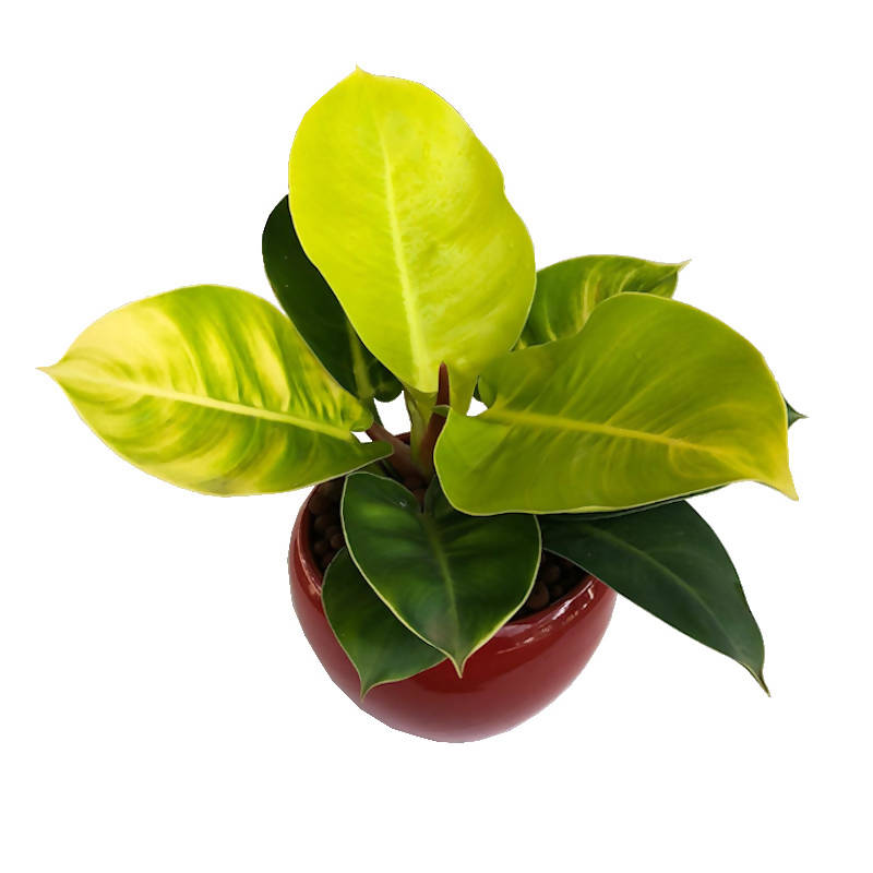 Philodendron Apple Green in Red Ceramic Pot (0.3m)