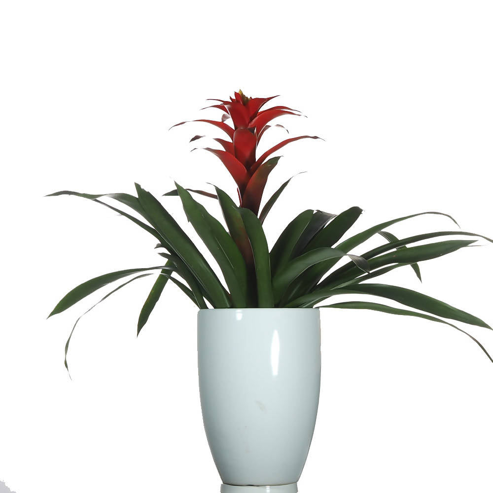Guzmania Plant in ceramic pot
