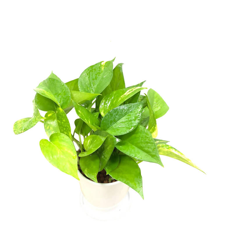 Epipremnum aureum, Money Plant, Devil's Ivy in White Pot (0.3m)