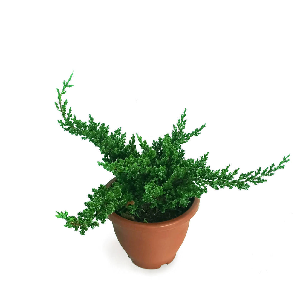 Juniperus horizontalis, Creeping Juniper (0.5m)