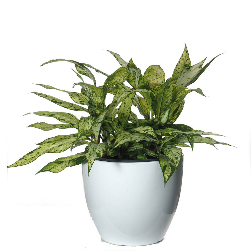 Aglaonema Evergreen, Chinese Evergreen (0.3m) in ceramic pot