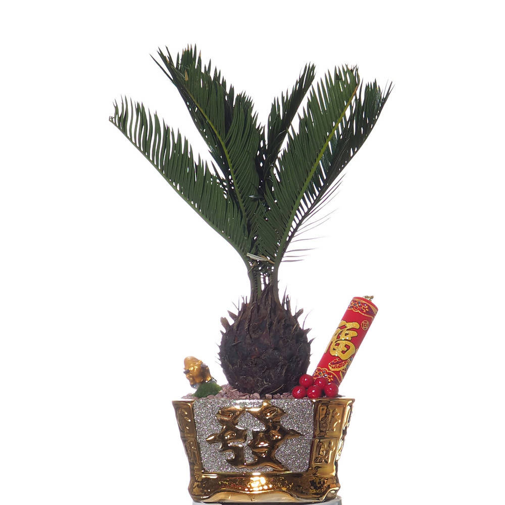 Cycas revoluta, Sago Palm Bonsai with CNY gold pot (牛气冲天,Huat Ah!)
