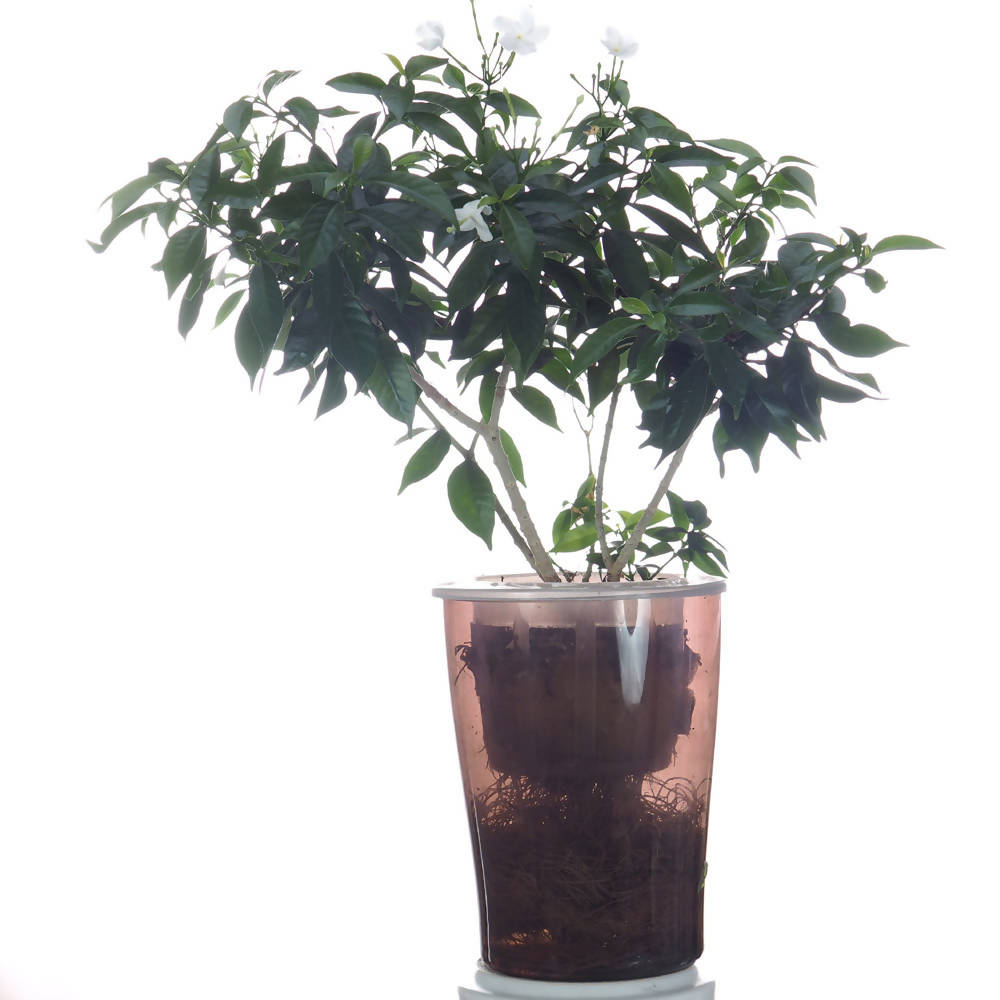 Jasmine Plant in hydroculture, (0.3mH)