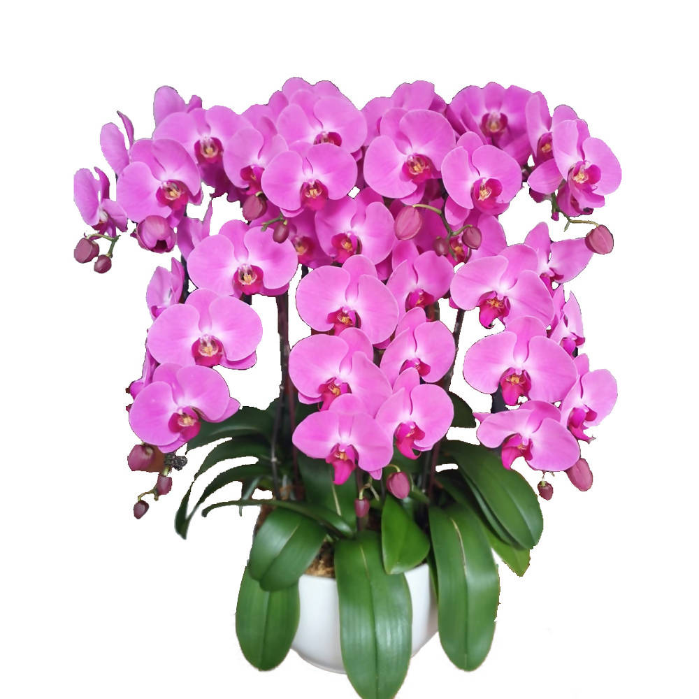 7 in 1 Phalaenopsis POX with pot