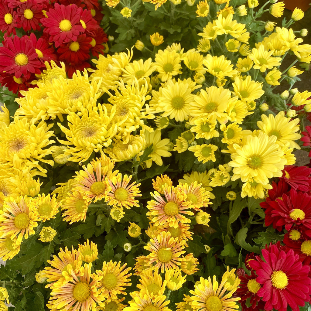 Chrysanthemum, Assorted Set of Three (0.20m)