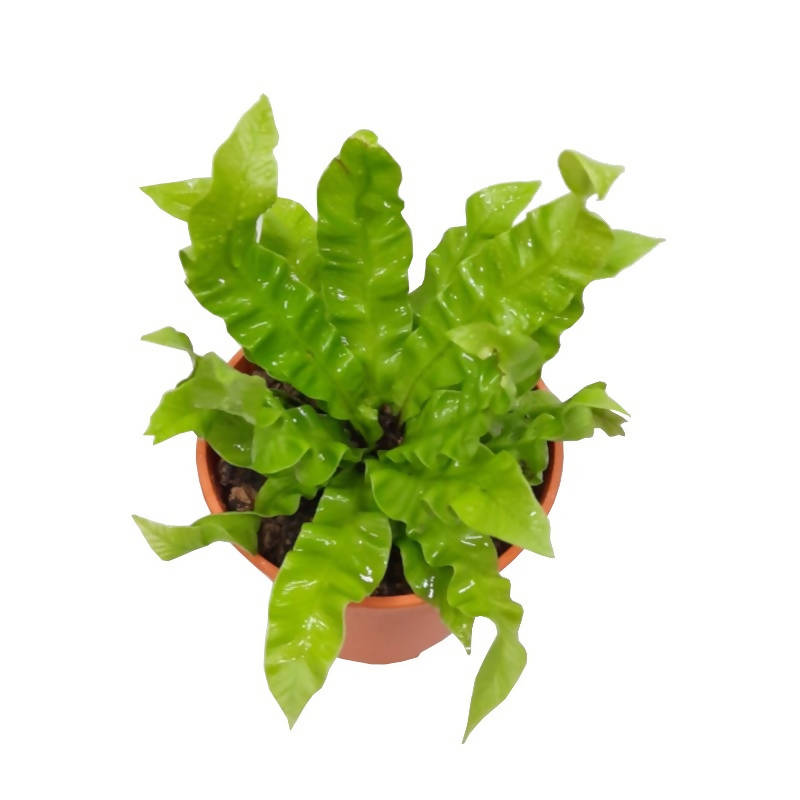 Asplenium nidus 'Crispy Wave', Pleated Bird's Nest Fern (0.25m)