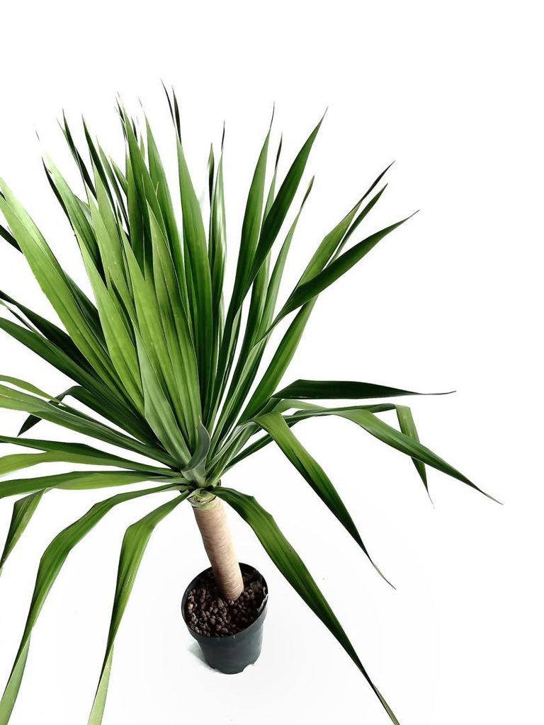 Dracaena Draco 'Dragon Tree' (1.3m)