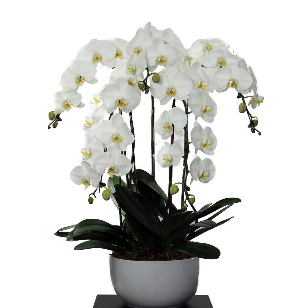 5 in 1 Phalaenopsis White in White Pot