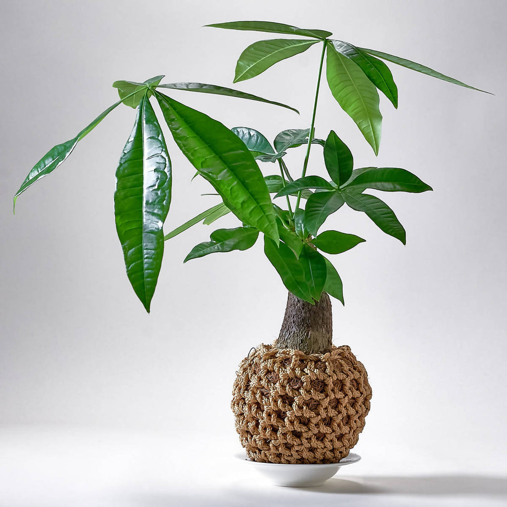 Pachira aquatica (发财树), crocheted kokedama (0.3mH)