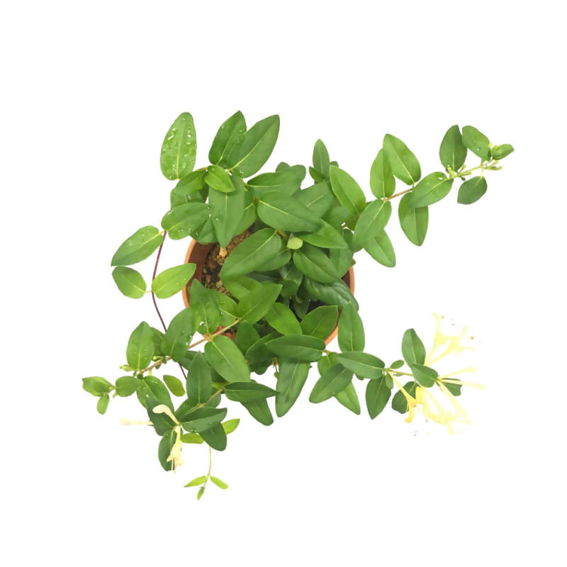 Lonicera japonica Thunb. ex Murray, Japanese Honeysuckle (0.3m)