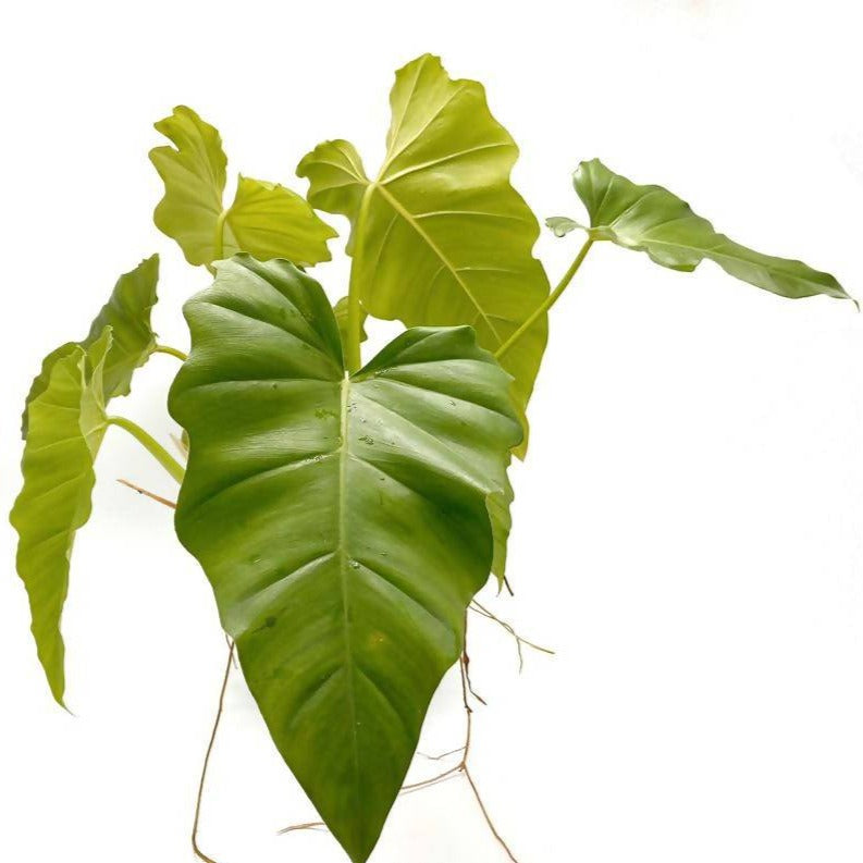 Philodendron Ginganteaum 'Pluto Green', (0.8m)