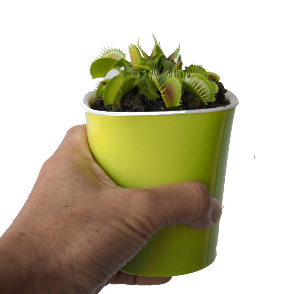 Venus Fly Trap in Hydroculture pot (0.08m)