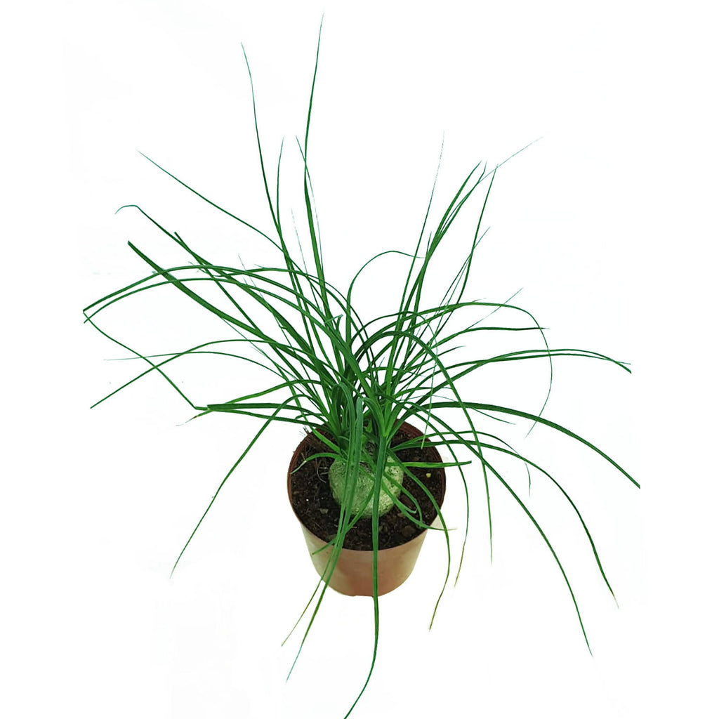 Beaucarnea recurvata, Ponytail Palm (0.2m)