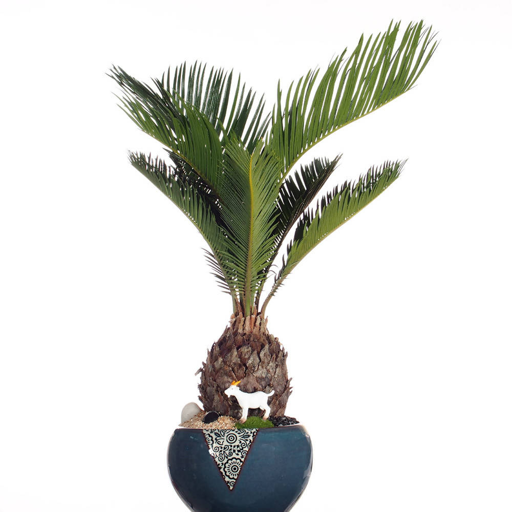 Cycas revoluta, Sago Palm Bonsai in blue ceramic pot (0.35mH)