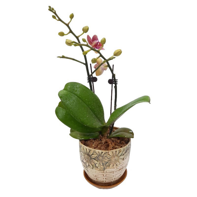 1 in 1 Purplish-Pink Mini Phalaenopsis Orchid with Basket Design Pot (0.35m)