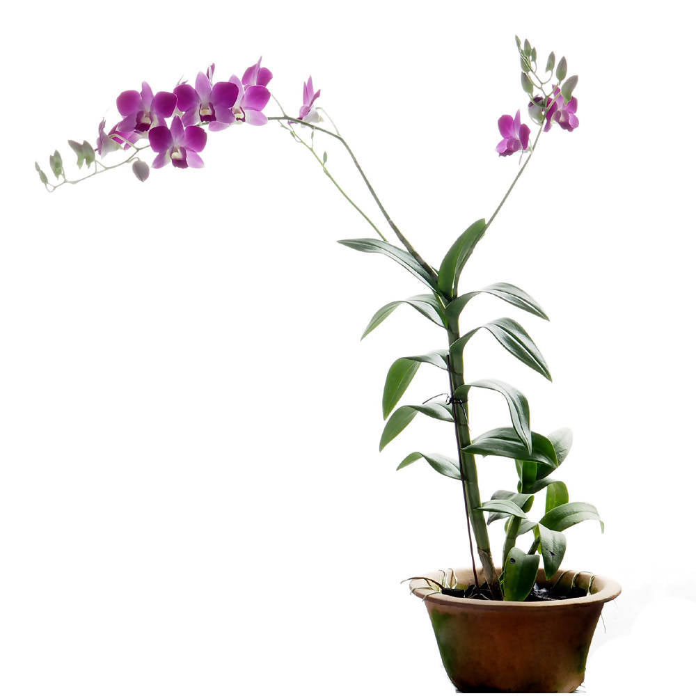 "Dendrobium 6"" Pot New Bon"