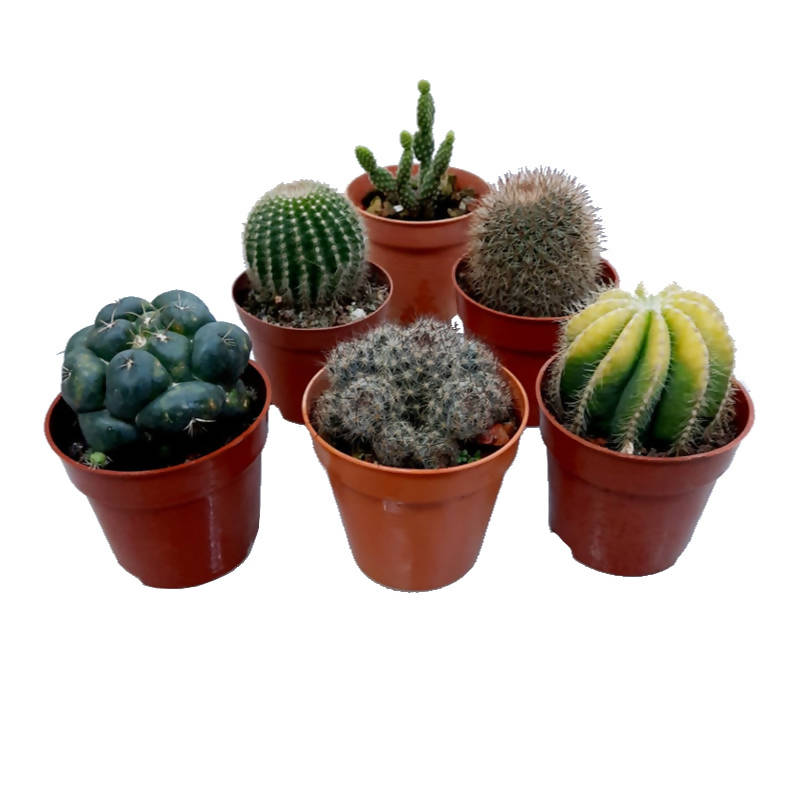 6 x Mixed Cactus Plants with 8cm Brown Pots