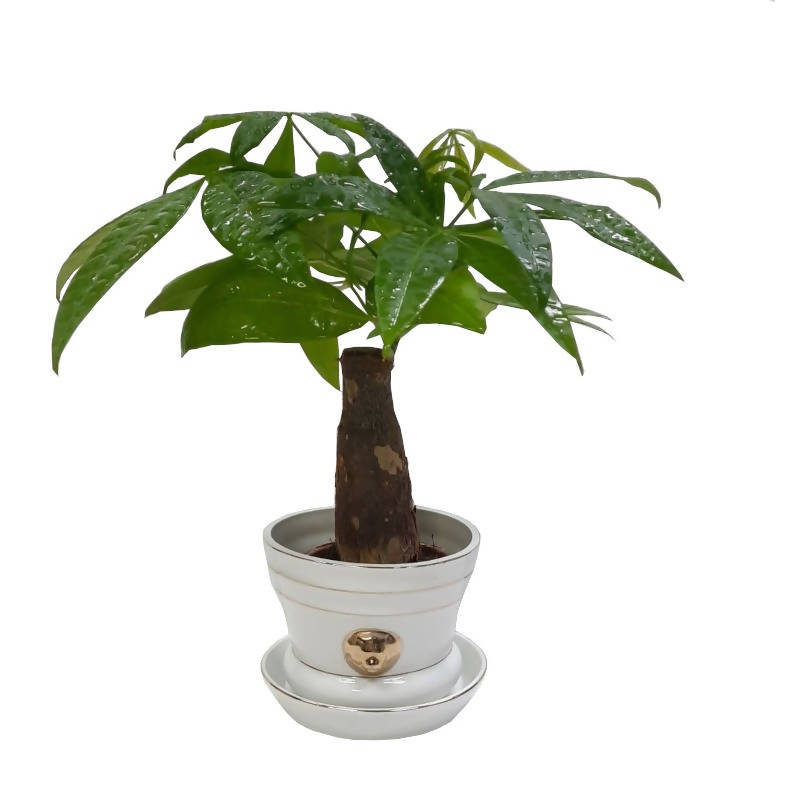 Single Head Pachira aquatica, Money Tree Plant in White Pot (0.23m)