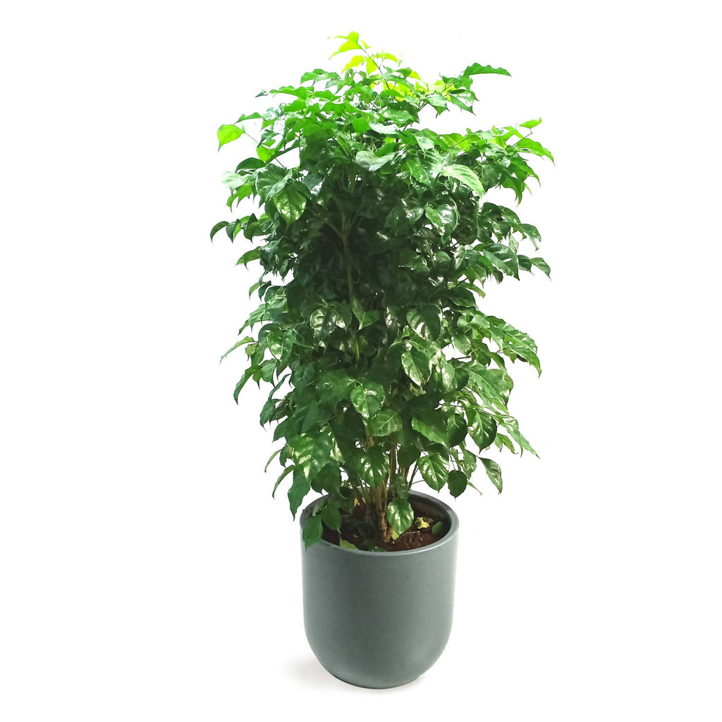 China Doll Plant in Grey Round Pot (1.2m)