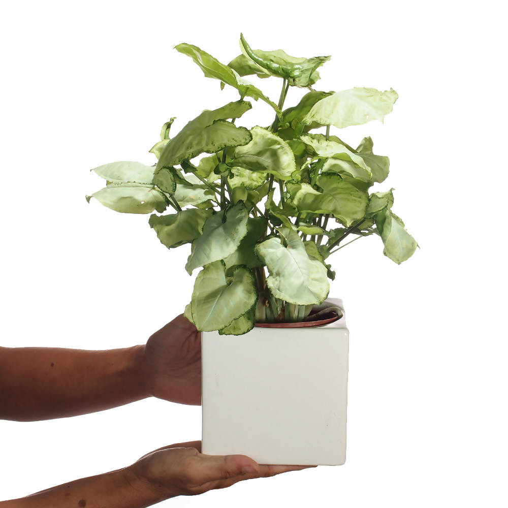 Syngonium podophyllum White Butterfly in Ceramic Pot