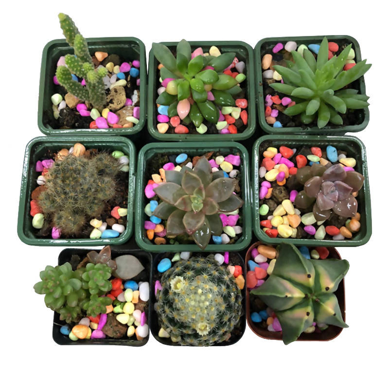 9 x Mixed Cactus Plants with 6cm Brown Pots