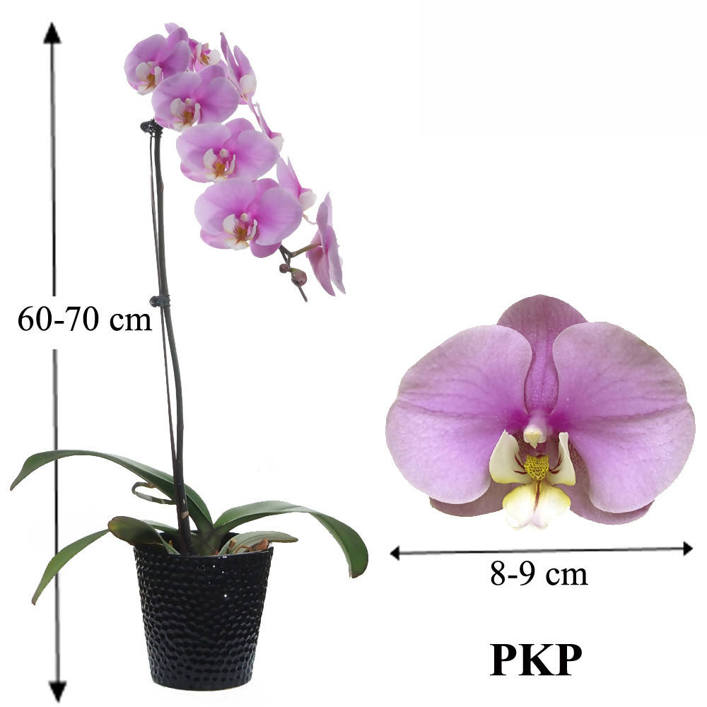 1 in 1 Phalaenopsis PKP with pot