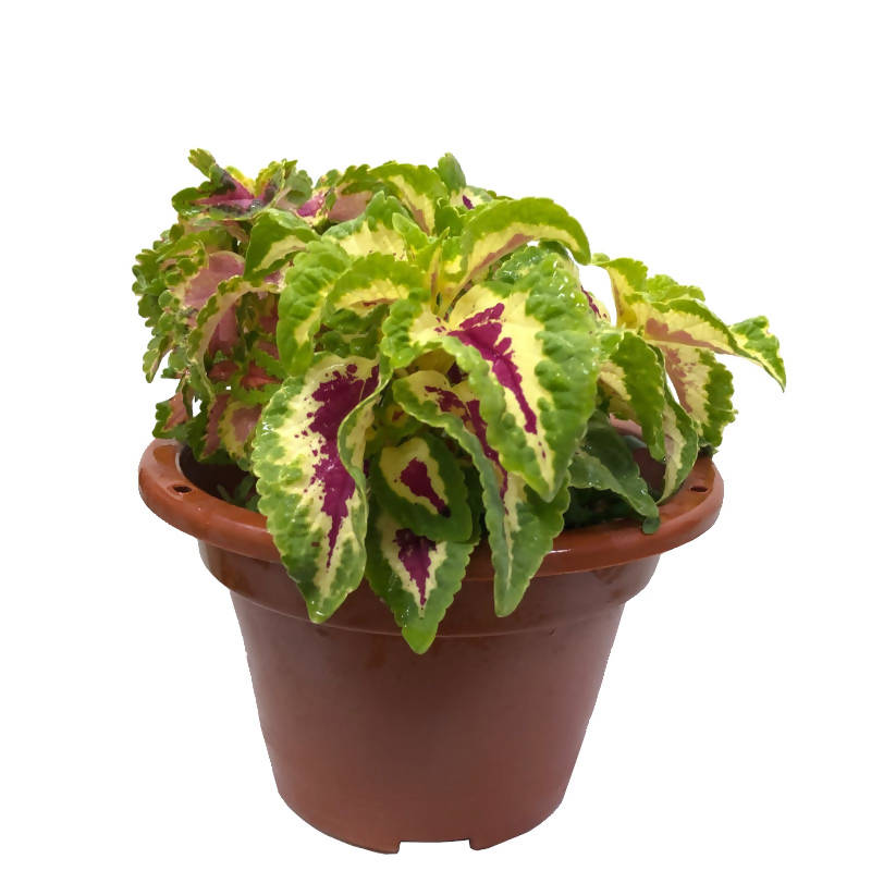 Coleus scutellarioides 'Wizard', Coleus, Painted nettle (0.28m)