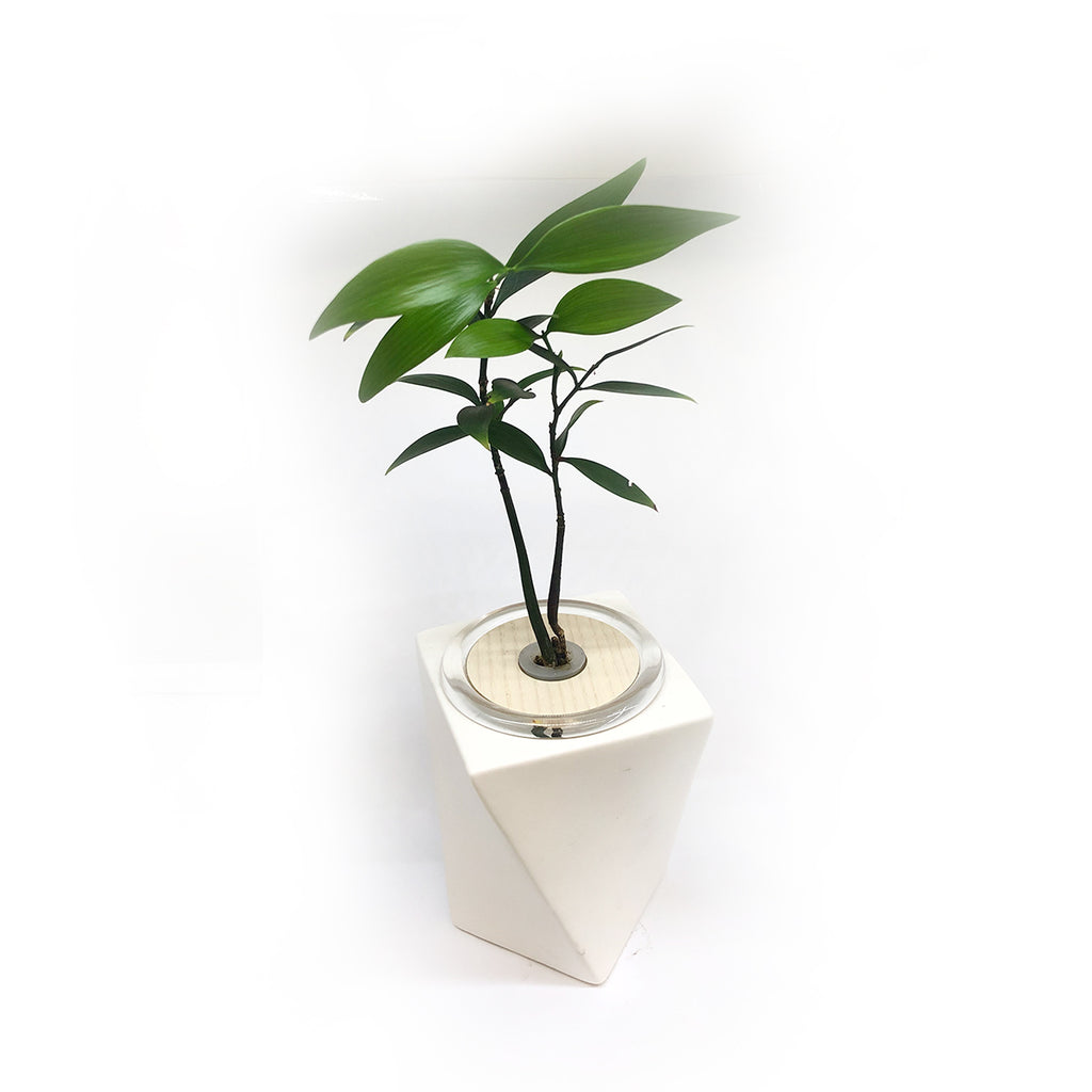 Hydroponic Bonsai in Dancing Ceramic