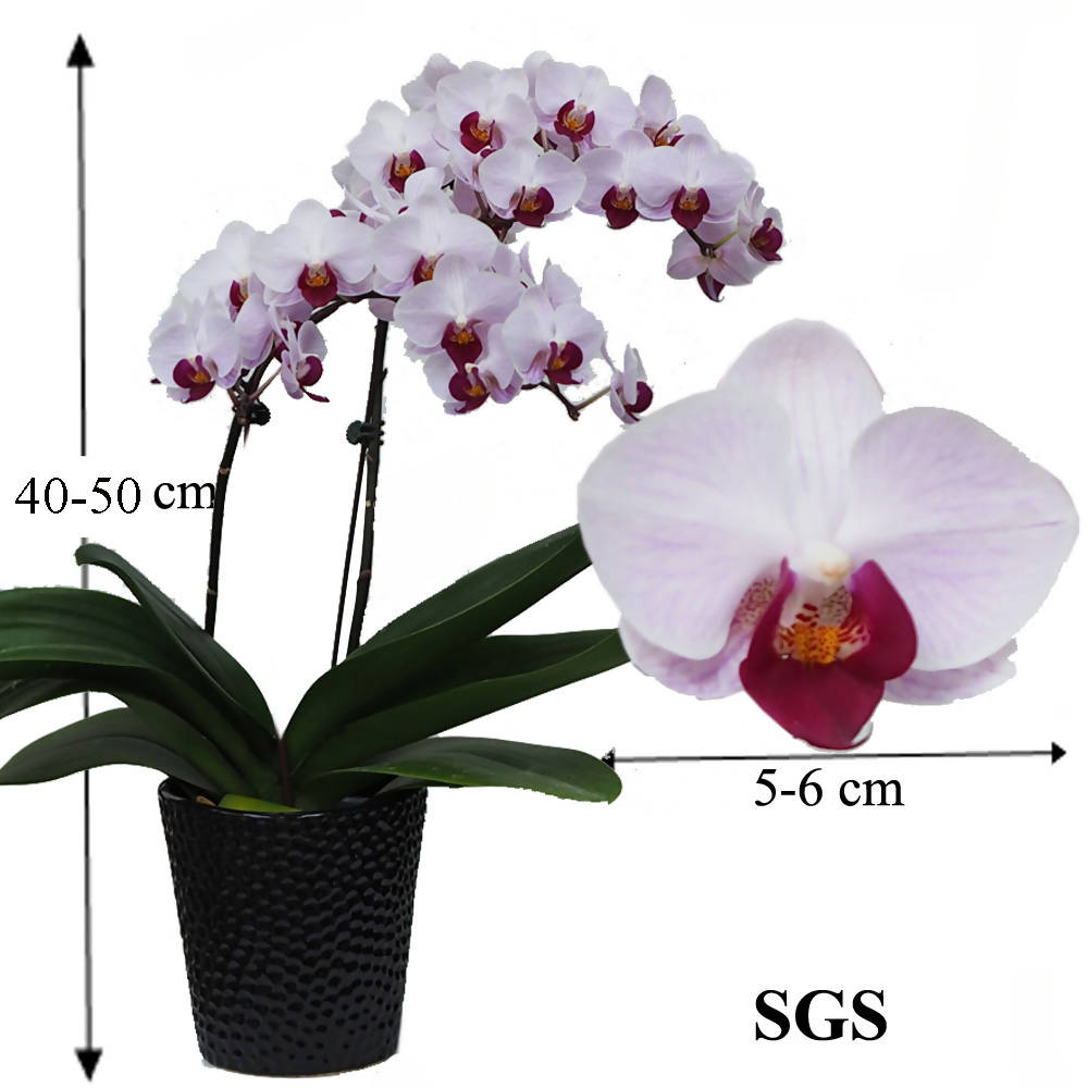 1 in 1 Phalaenopsis SGS with pot