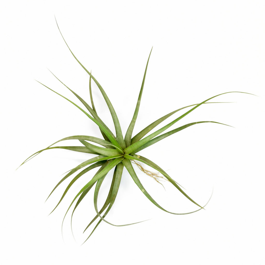 Air Plant Tillandsia concolour