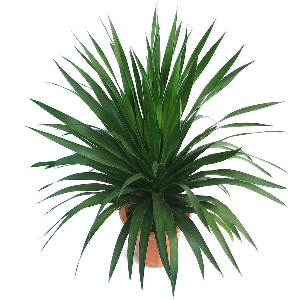 Dracaena Draco, Single Stem Dragon Plant (0.6m)