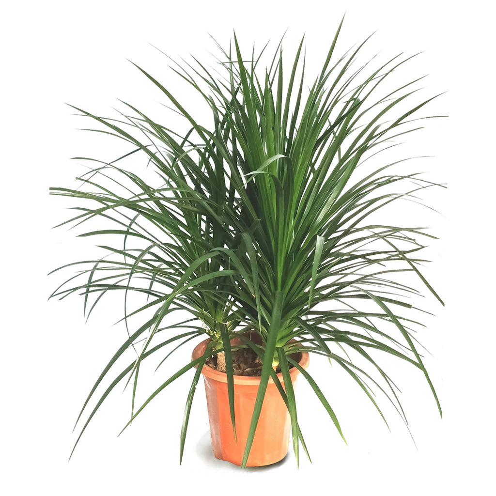 Dracaena cambodiana 3in1, Cambodian Dragon Tree (0.6m)