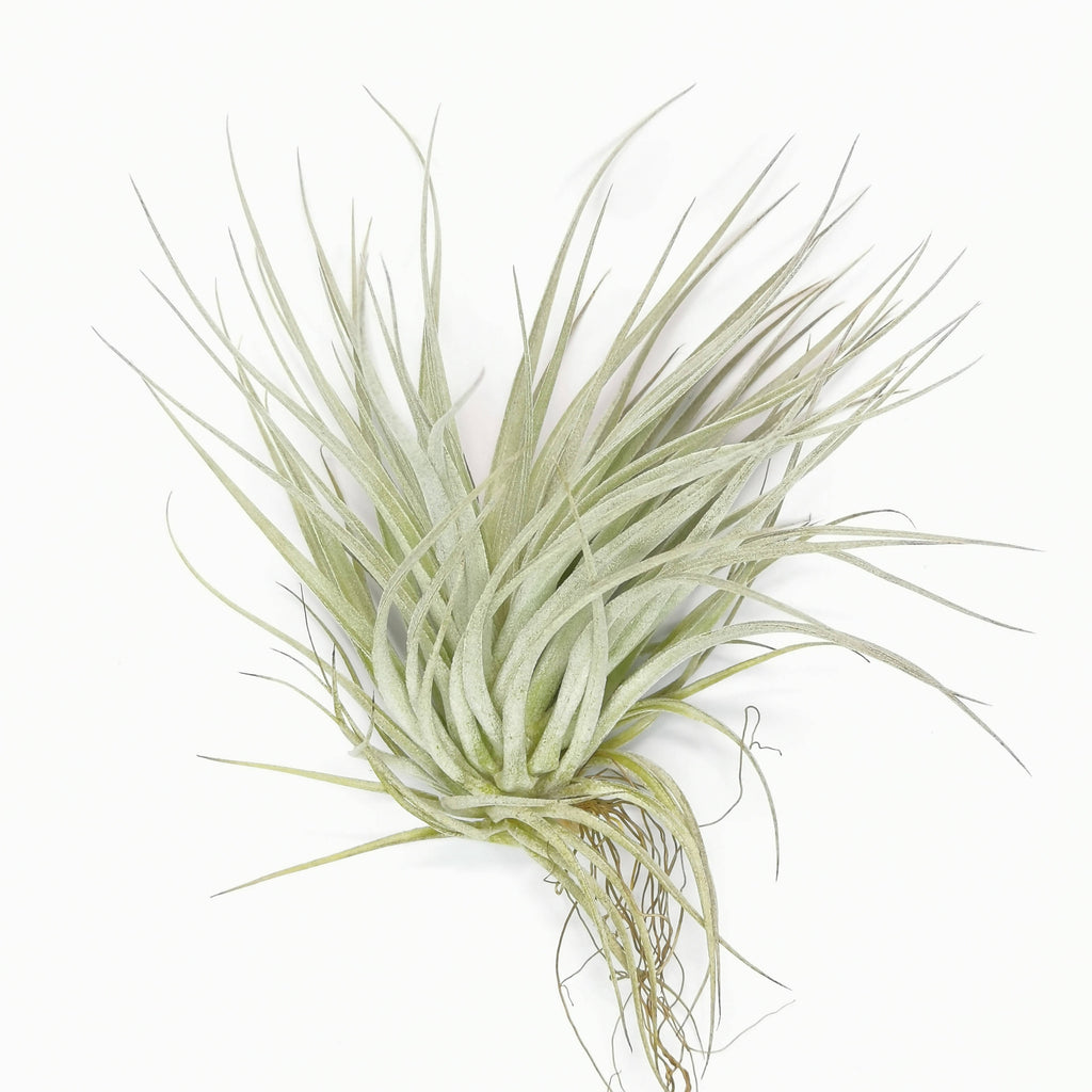 Air Plant Tillandsia Cotton Candy Big
