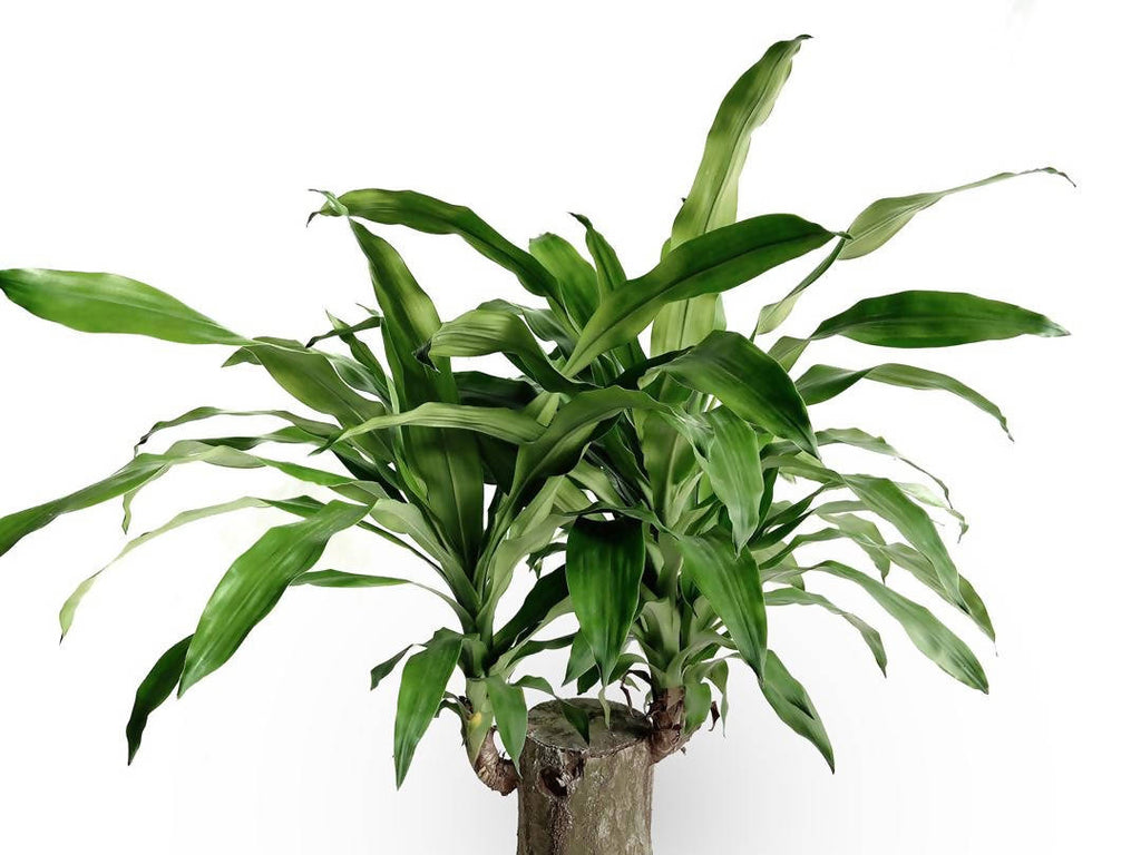 Dracaena Fragrans, Corn Plant, Happy Plant, Cornstalk Plant (1.2m)