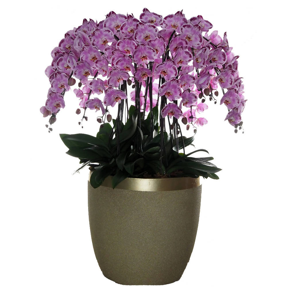 18 in 1 Phalaenopsis BHD (All Round Arrangement) with pot