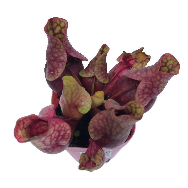 Sarracenia Purpurea Subsp. Venosa, Purple Pitcher Plant in 8cm Pots