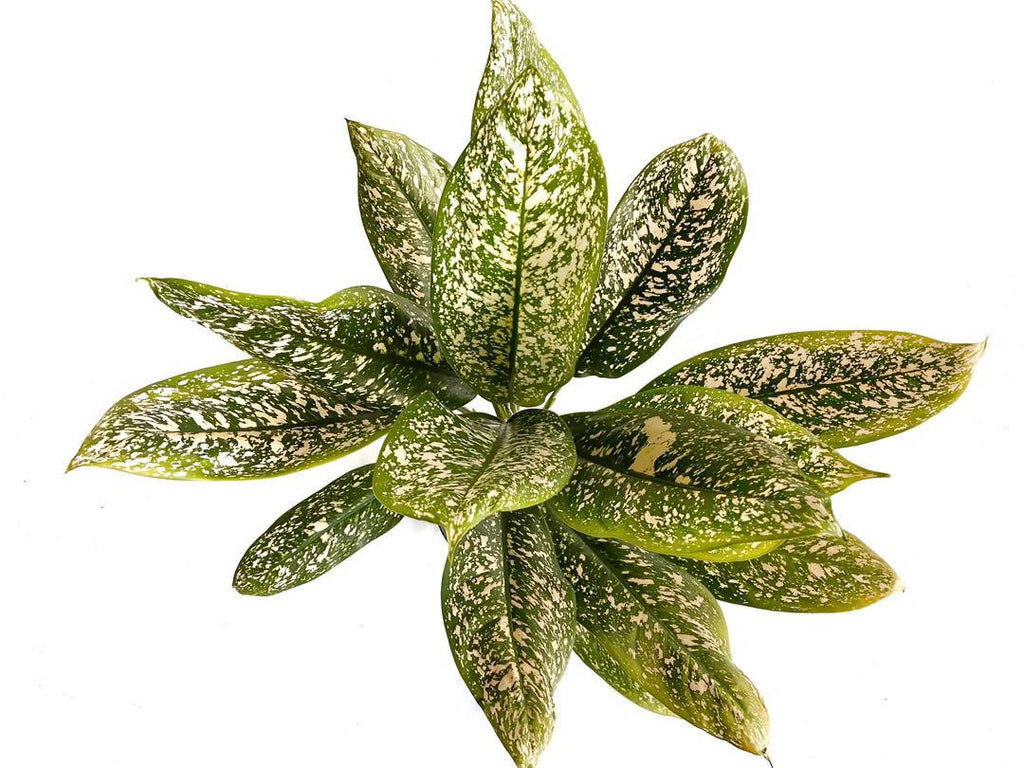 Aglaonema 'Lumina', Chinese Evergreen (0.8m)