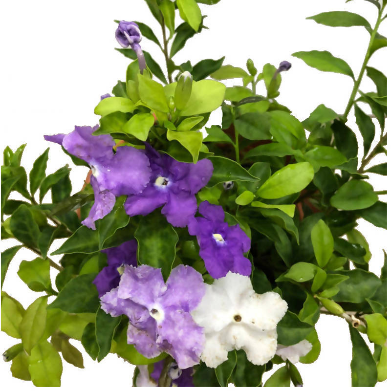 Brunfelsia pauciflora, Yesterday Today and Tomorrow, Morning Noon & Night, Kiss Me Quick Plant (0.4m)