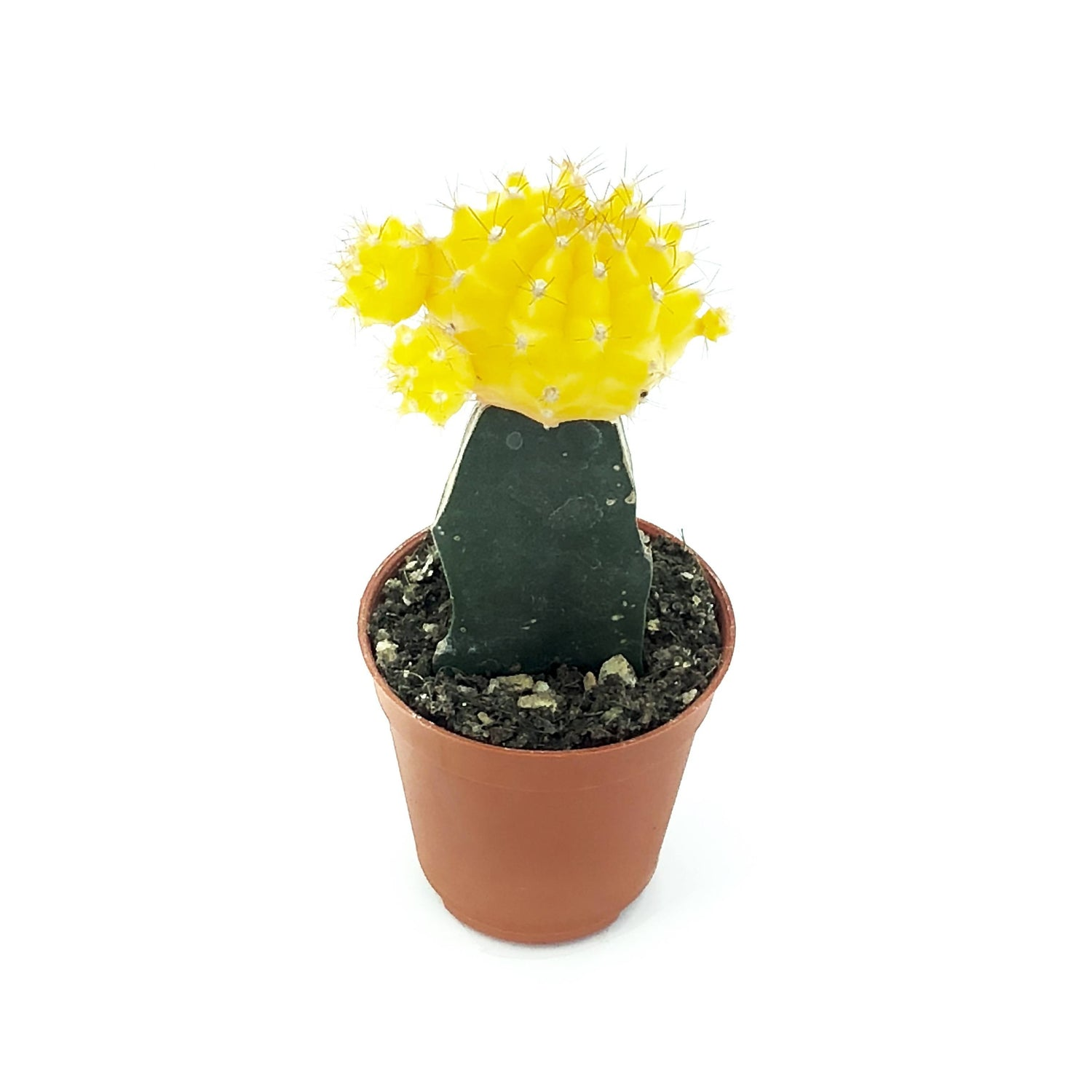 Cactus grafted, Yellow (0.08m)