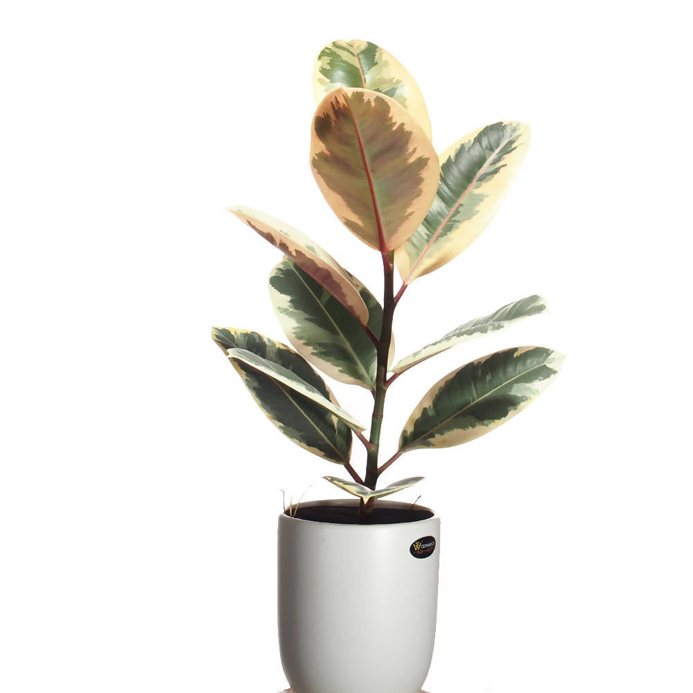 Ficus elastica variegata, Rubber Plant in ceramic pot