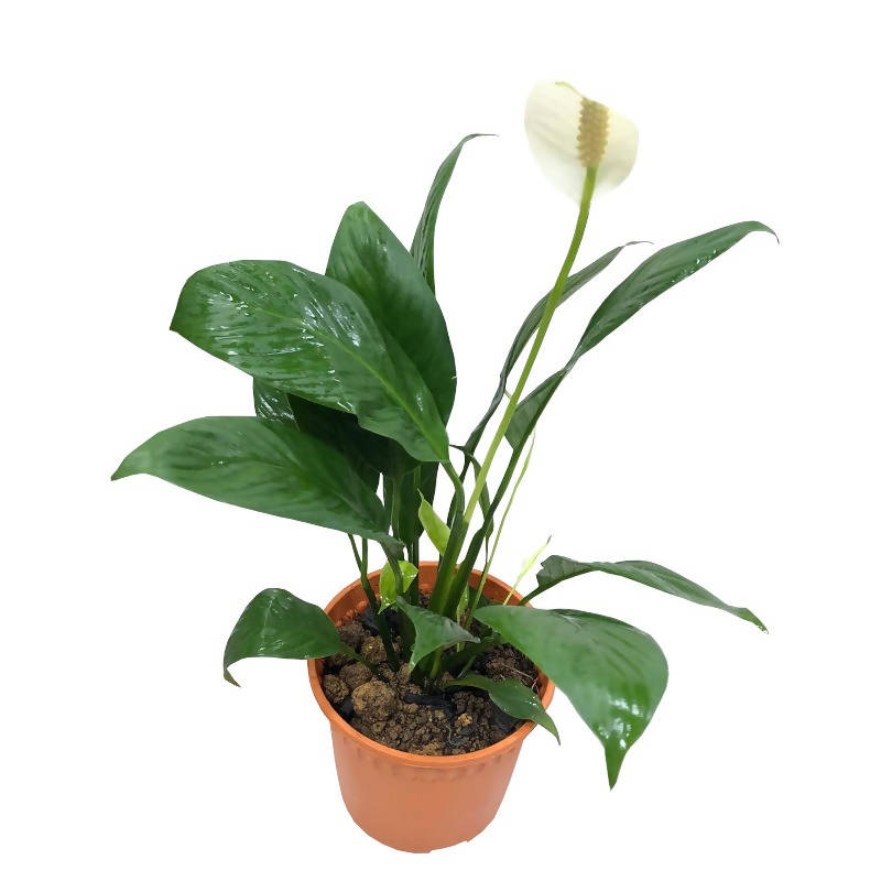 Spathiphyllum Wallisii, White Sails, Peace Lily (0.3m)