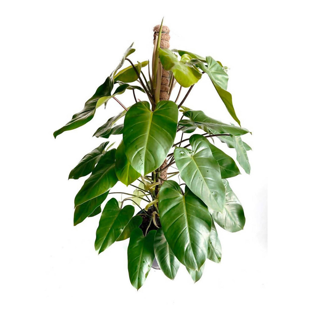 Philodendron 'Green Emerald' (1.3m)