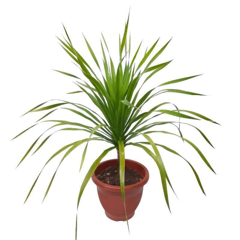 Dracaena Marginata, Dragon Tree (0.6m)
