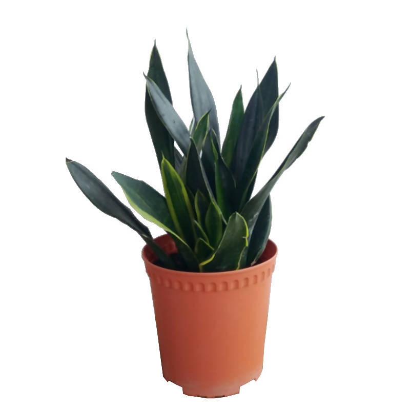 Dracaena trifasciata (Prain) Mabb. (grey-green-yellow leaves), Sansevieria (0.5m)