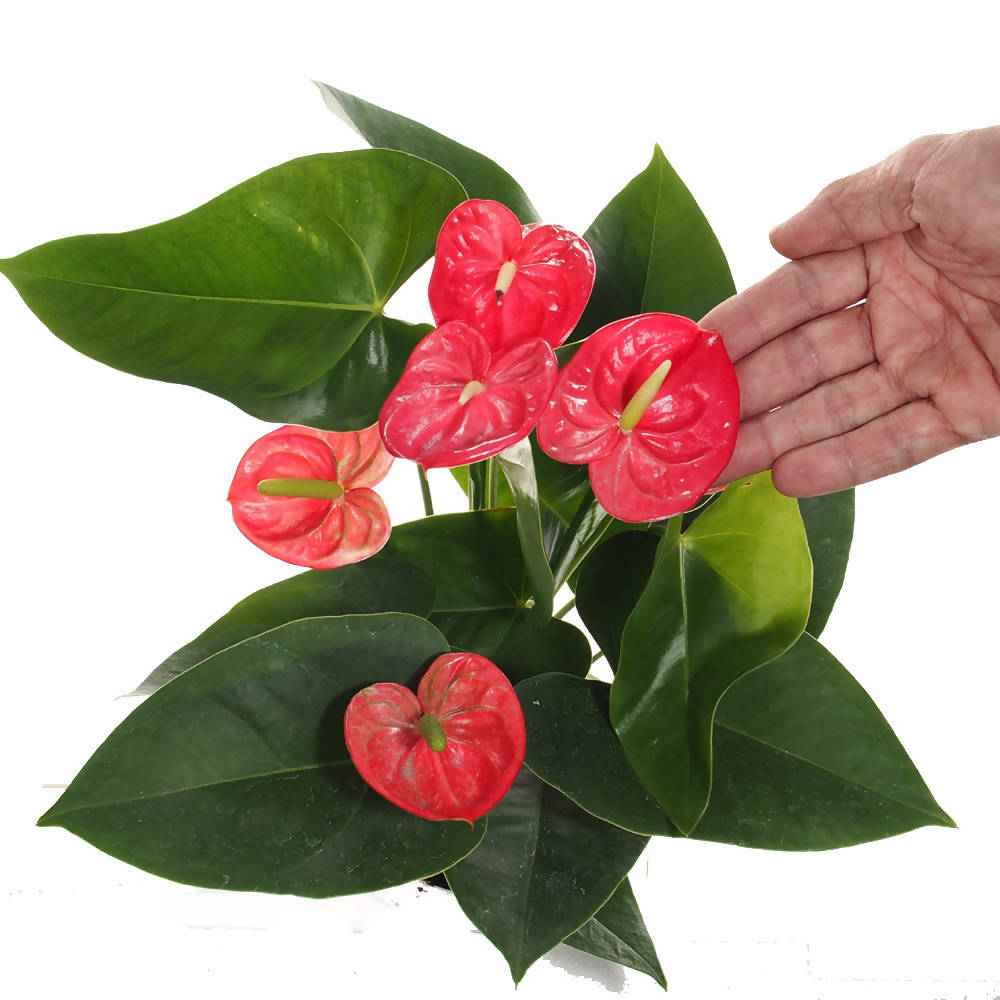 Anthurium mini in waterculture (0.35m)