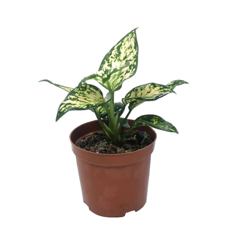 Aglaonema 'White Anyamanee', Chinese Evergreen (0.22m)