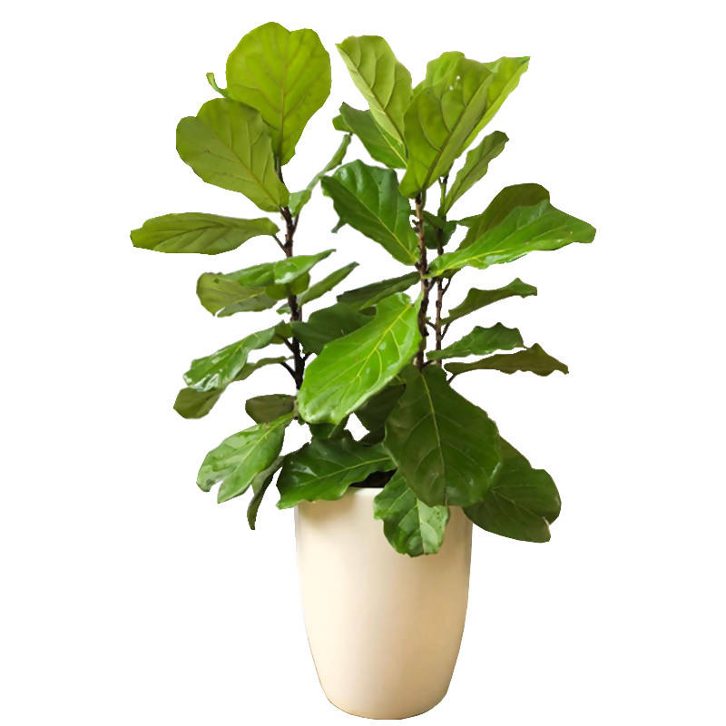 Ficus lyrata, Fiddle Leaf Fig in White Ceramic Pot
