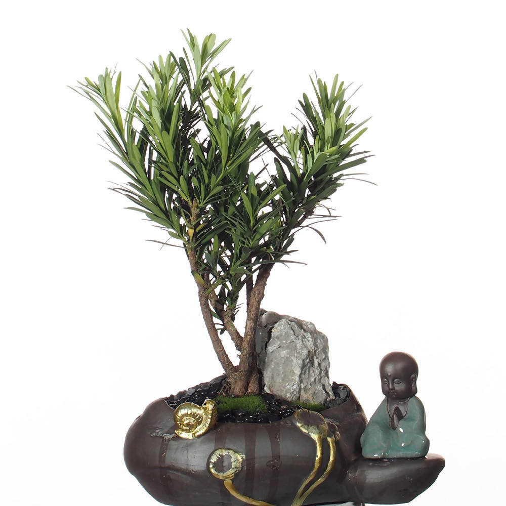 Bonsai Podocarpus in Oval Brown Pot