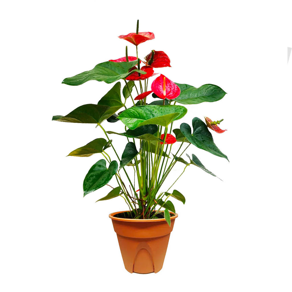 Anthurium andraeanum 'Red', Flamingo Flower (0.55mh)